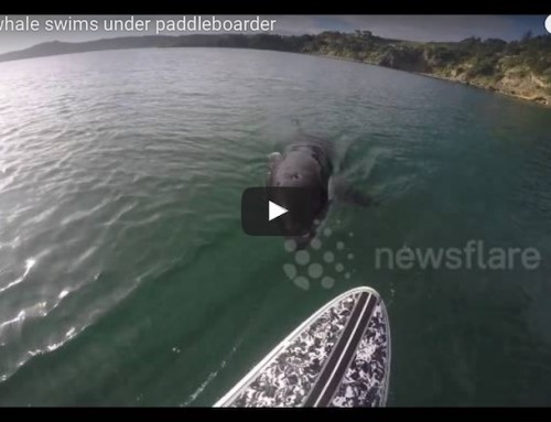 Curious Killer Whale Swims Under Paddleboarder