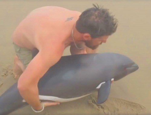 Video – Kayak Instructor saves a trapped dolphin and becomes an Internet hero