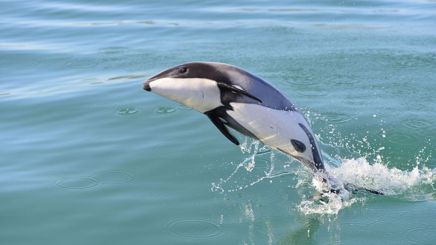 «Graves inquiétudes» concernant la survie du dauphin Maui en Nouvelle-Zélande
