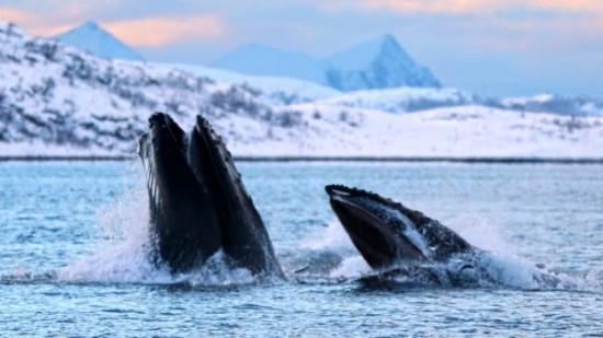 Ces baleines à bosse peuvent engloutir 100kg de poisson en une seule bouchée