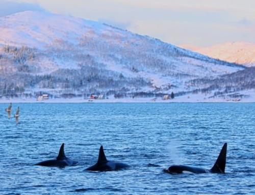 Le dernier refuge pour les orques meurtries d'Europe
