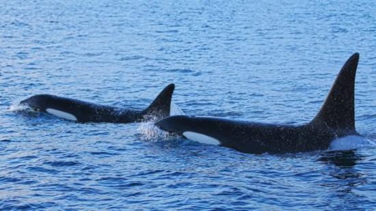 Deux orques