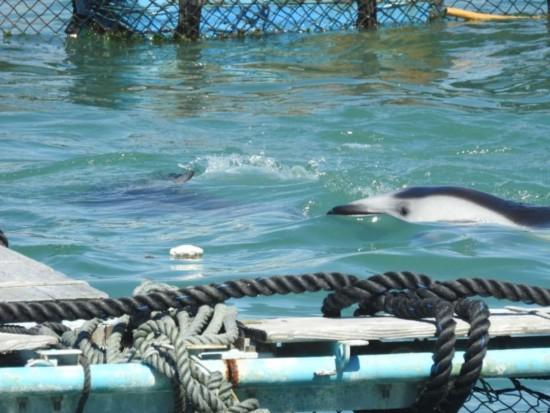 Dauphins à flancs blancs du Pacifique en train de nager dans leur enclos à Taiji (Japon). Crédit photo : DolphinProject.com