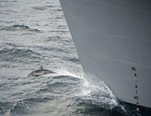 Les dauphins sont obligés de simplifier leur communication en raison du bruit des activités humaines en mer