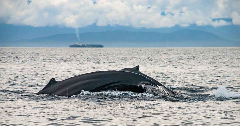 Des orques et des technologies pour protéger les mammifères marins - Deux baleines à bosse au large des côtes de Vancouver en Colombie Britannique (Canada)