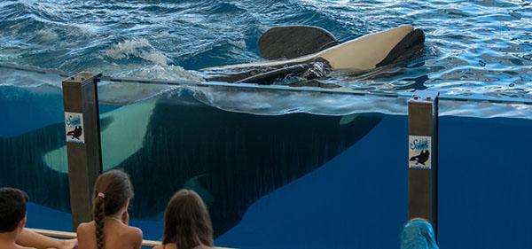 Une orque dans un bassin devant des enfants