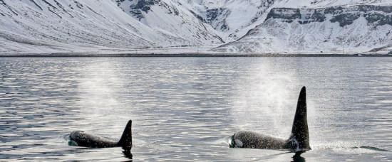 Deux Orques dans les eaux de l'Arctique - Photo : GLACIALIS - Virginie Wyss