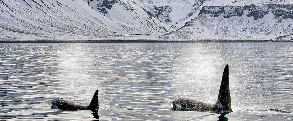 L'expédition Glacialis - Deux Orques dans les eaux de l'Arctique - Photo : GLACIALIS - Virginie Wyss